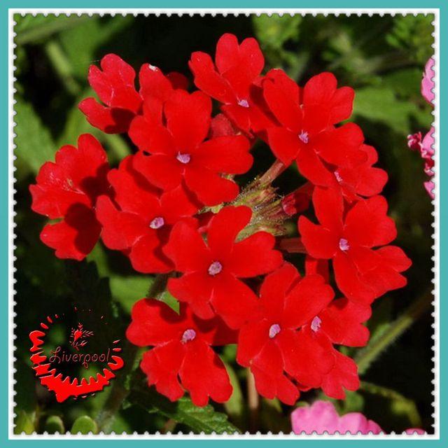 30 Rouge Verveine Graines De Fleurs Jardin Bbonsai Plantes À Effet ...