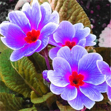200pcs real evening primrose seeds Europe primula malacoides mix color bonsai flower for home garden supples plant gift for wife
