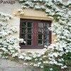 20pcs Climbing Jasmine seeds Rare Flower Seeds Bonsai Perennial indoor Outdoor Plants Decorative house for Home Garden Planting
