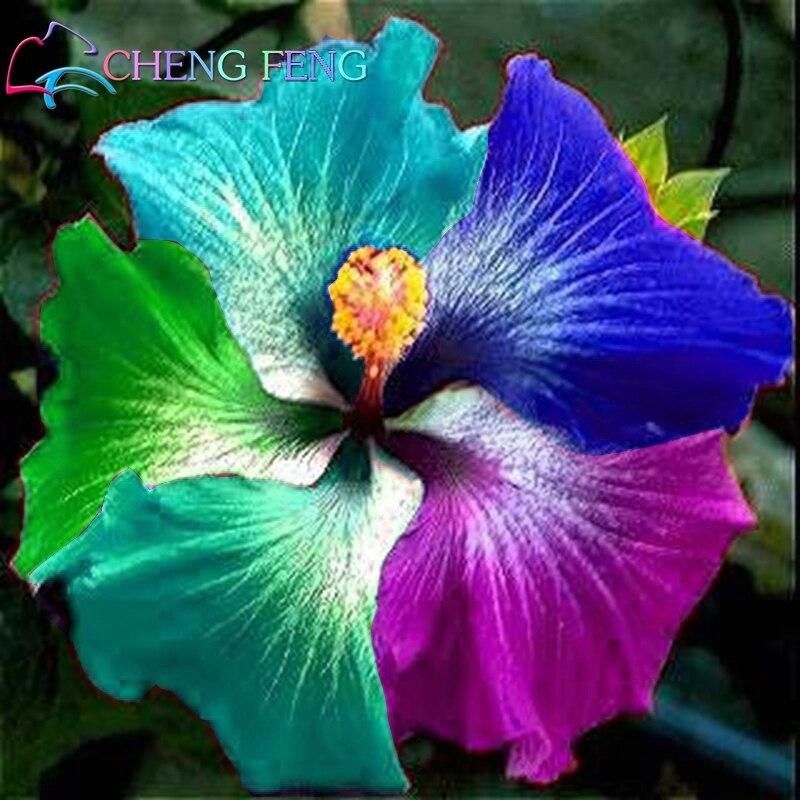 100 Pcs Riesen Regenbogen Hibiscus Blume Pflanzen Chinesischen Diy Anlage Hibiscus Pflanzen Beste Geschenk Für Ihre Kinder Einfach Wachsen Hause Garten Bon