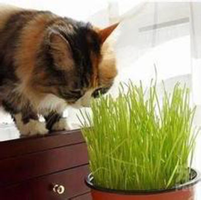 200 Pieces/bag Seeds Grass Kittens,Cats Like to Eat Wheat Grass Can Be Repeatedly Harvested Wheat Seeds
