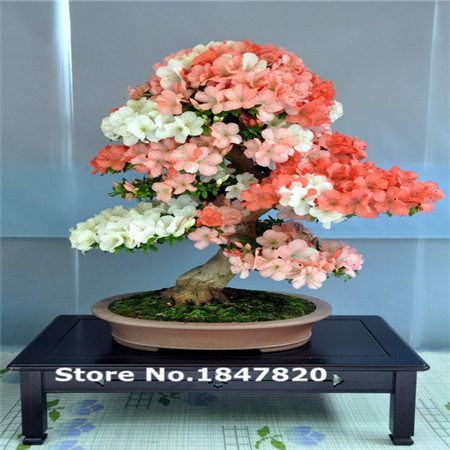 50pcs 24kinds for Chose New Rare Bonsai Tree Seeds - Apple Lemon Pinus Cherry Maple Kiwi Jasmine Bamboo Orange Tree Seeds