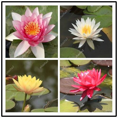 5 Pcs/Bag Lotus Flower Lotus Bonsai Aquatic Plants Bowl Lotus Water Lily Bonsai Perennial Nymphaea Plant For Home Garden