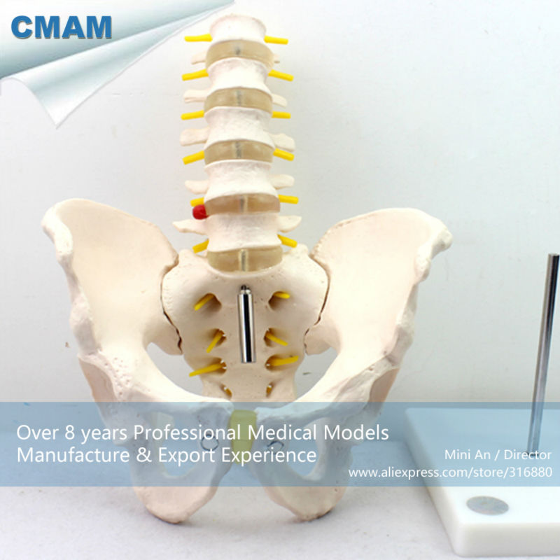 12342 CMAM-PELVIS05 Professional Medical Model Life-Size Pelvis with 5pcs Lumbar Vertebrae Anatomy life size vertebral column spine with pelvis model bix a1009 w051