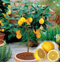 30 Pcs/bag Yellow Lemon Bonsais Fruit Garden Terrace Outdoor Orchard Farm Family Potted Bonsai Tree Lime Plant for Flower Pot(China)