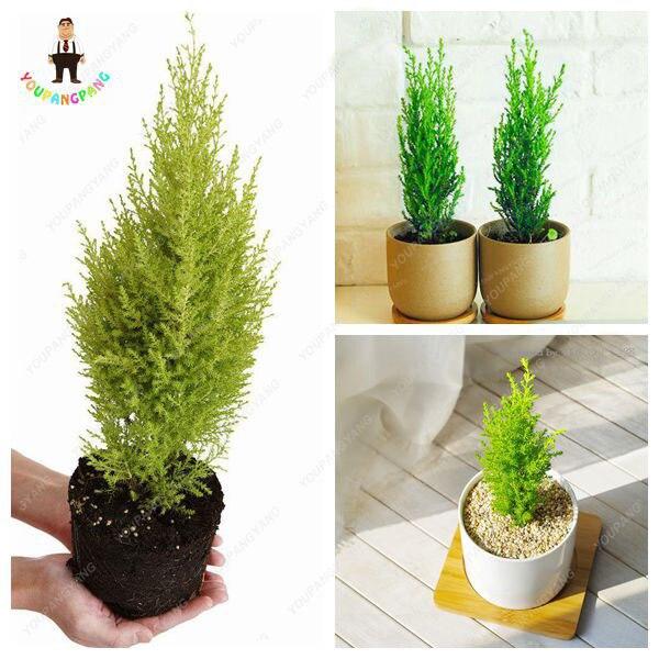Nuovo Arrivo 50 pz Mini Cipresso piante Molto Facile Grow Albero bonsai Bella &
