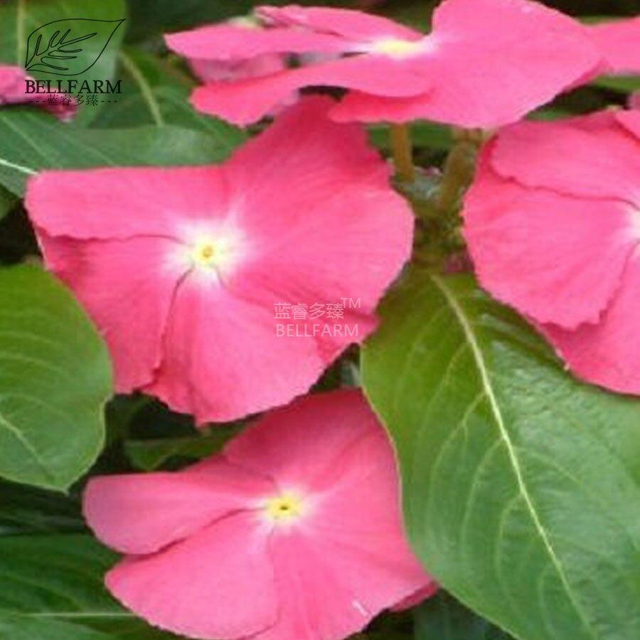 Bellfarm Bonsai Vinca Rosea Periwinkle Perennial Flowers 20pcs Mixed
