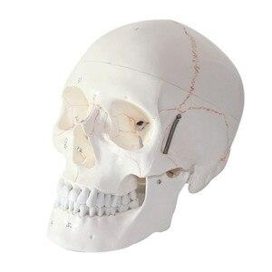 Image 3 - 1:1 a Grandezza naturale Del Cranio Modello di Modello di Cranio Umano Medicina Cranio Umano Anatomia Anatomico Testa Studiare Anatomia Insegnamento Forniture