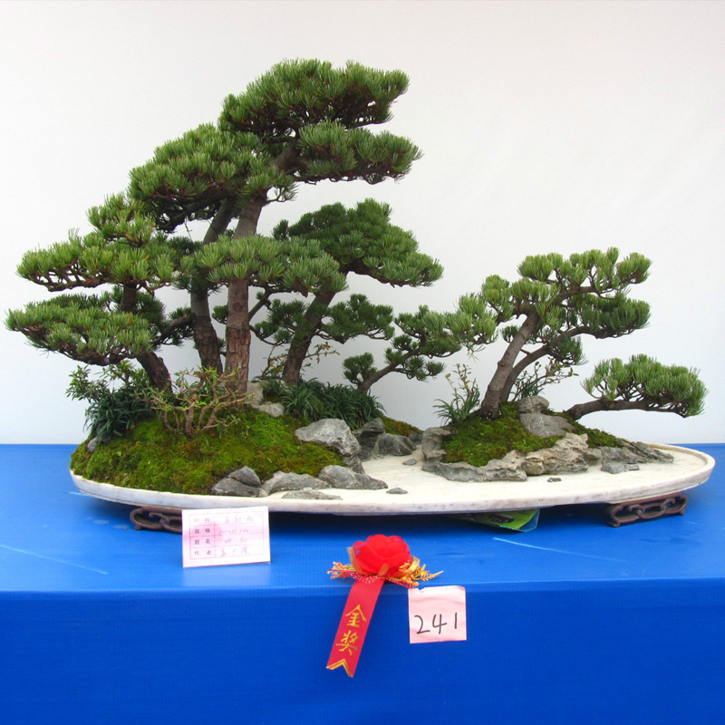 Hot Sale Unique Thunbergii Seeds Black Pine Bonsai Tree