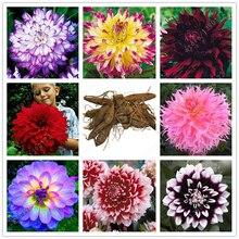 2bulbs true dahlia bulbs,flowers dahlia,(not dahlia seeds),National flower of Mexico,Flower symbolizes good luck for home garden