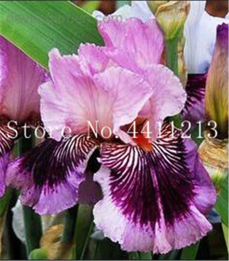 200 шт. Редкие Iris цветок орхидеи комнатных растений красивый дом Сад посадки бонсай цветы Semillas, растений для дома сад