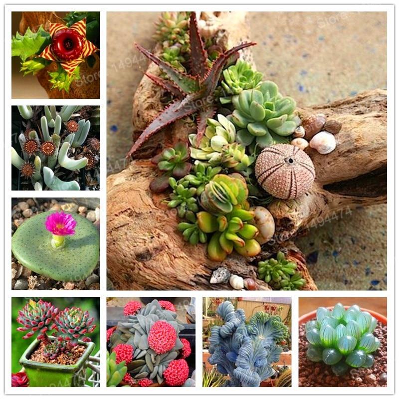 мужские цветки актинидии фото