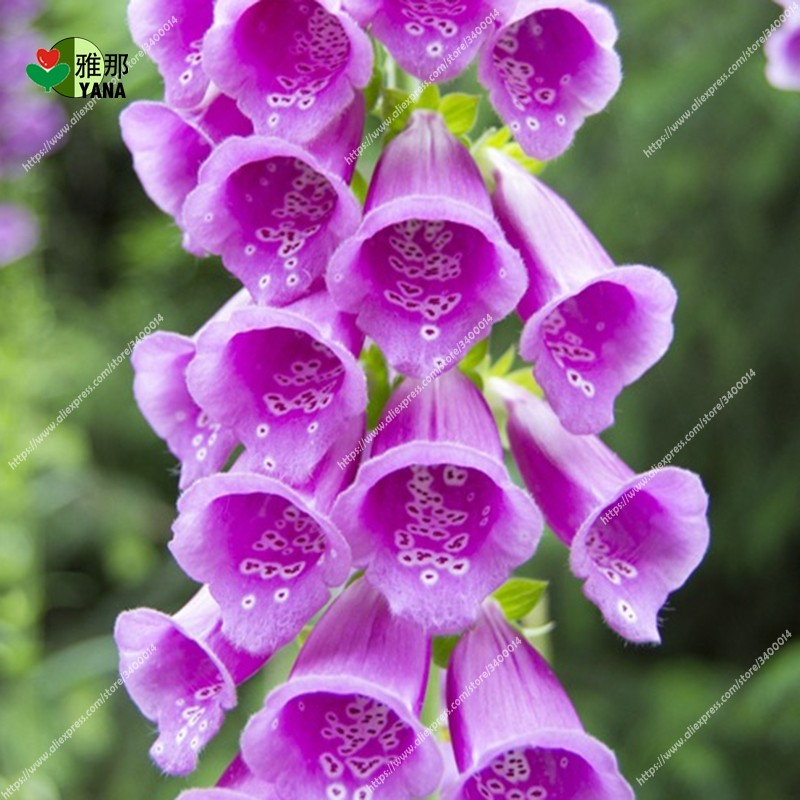 Image 4 - Golden Bell Flower Foxglove flower bonsai potted plants 30pcs/bag-in Bonsai from Home & Garden