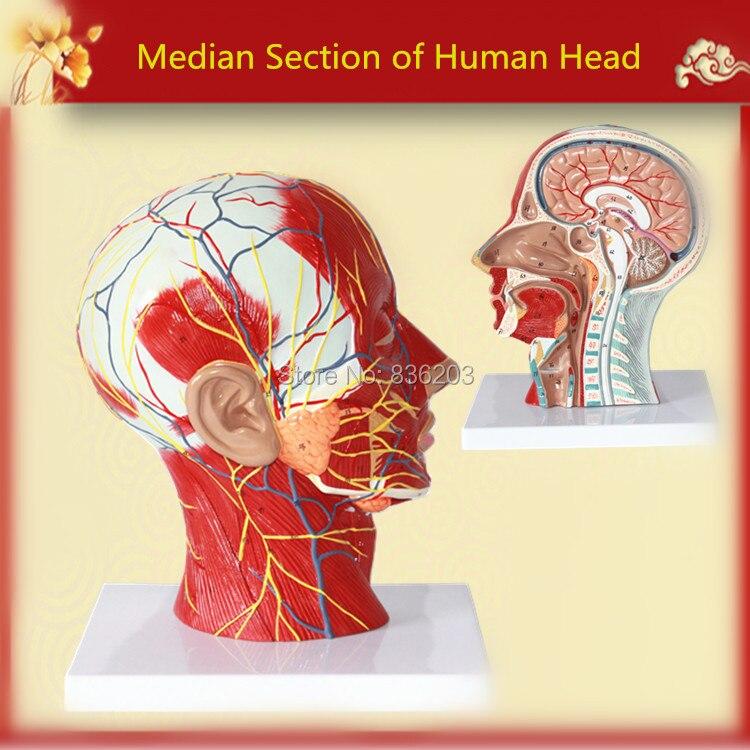 Median Abschnitt des Menschlichen Kopf Hals Modell in trauma ...