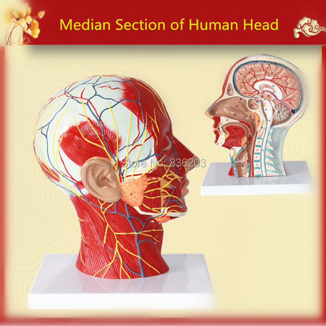 Median Section of Human Head Neck Model in trauma anatomy skeleton ...