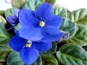 Evening Primrose Seeds, Blue Evening Primrose Seeds, 100pcs/pack