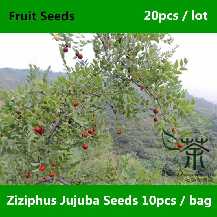 ᐂ^ Especies únicas Ziziphus Jujuba ^ 20 piezas, chino ampliamente ...