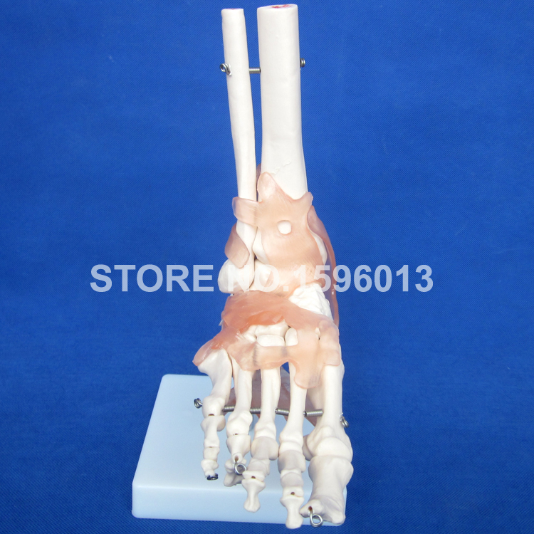 HOT Life-Size Foot Joint Model with Ligaments, Human Foot Ligaments Model цена