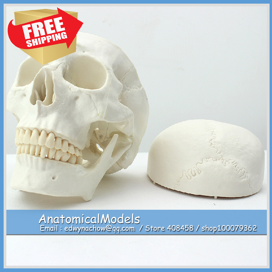ED-SKULL02 Life Size Asian Design Human Skull Bone Model Asian Design ,  Medical Science Educational Teaching Anatomical Models 1 2 life size knee joint anatomical model skeleton human medical anatomy for medical science teaching