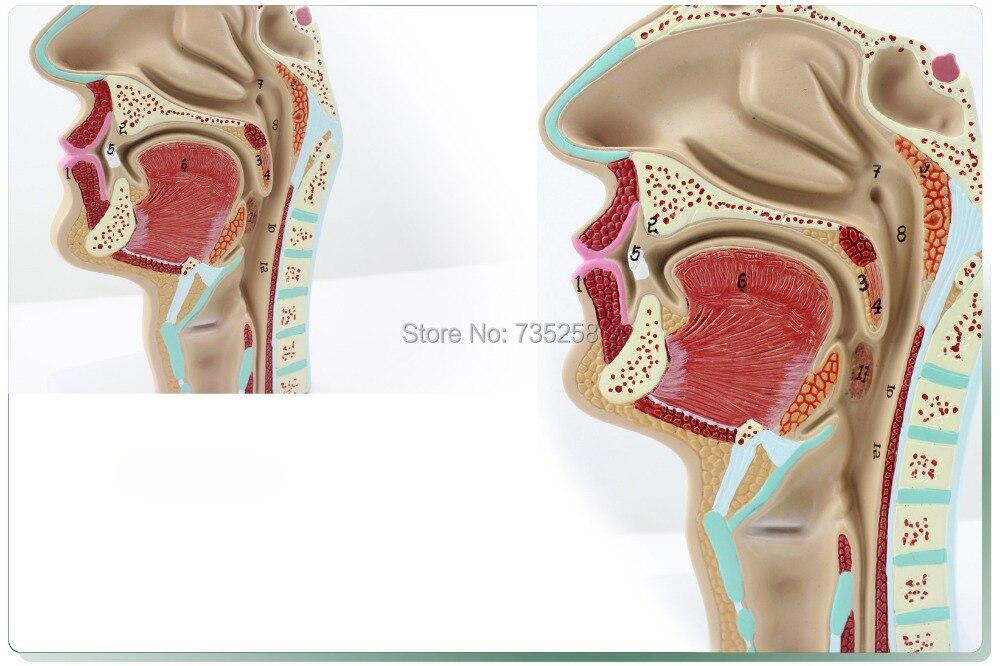 Menselijke neus mond keel anatomisch model, kno modellen in ...