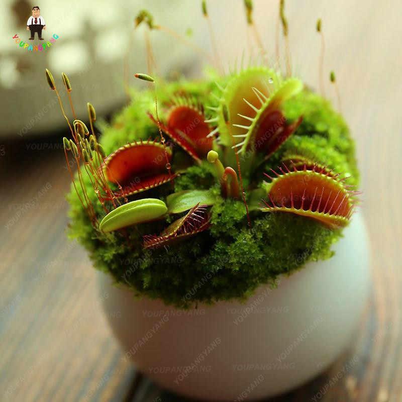 100 قطعة مصيدة للحشرات بونساي لحشرات النباتات الزرقاء Dionaea Muscipula آكلة اللحوم مشبك عملاق زهرة فينوس مصيدة للحشرات