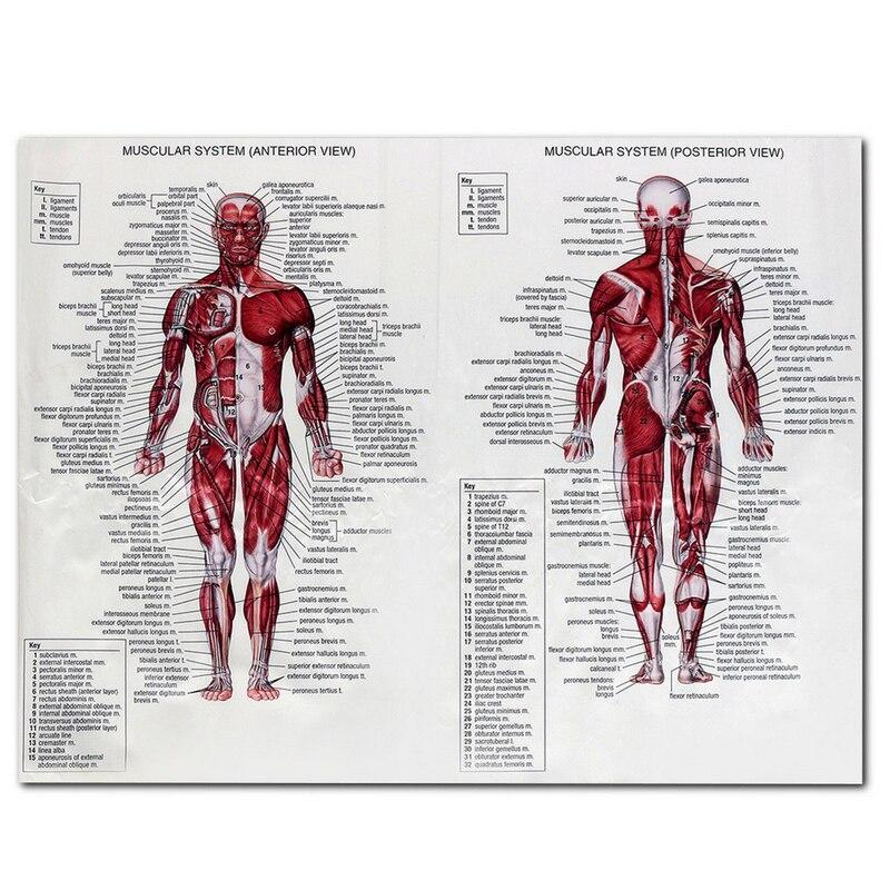 1 unid sistema muscular carteles anatomía Chart Cuerpo Humano ...