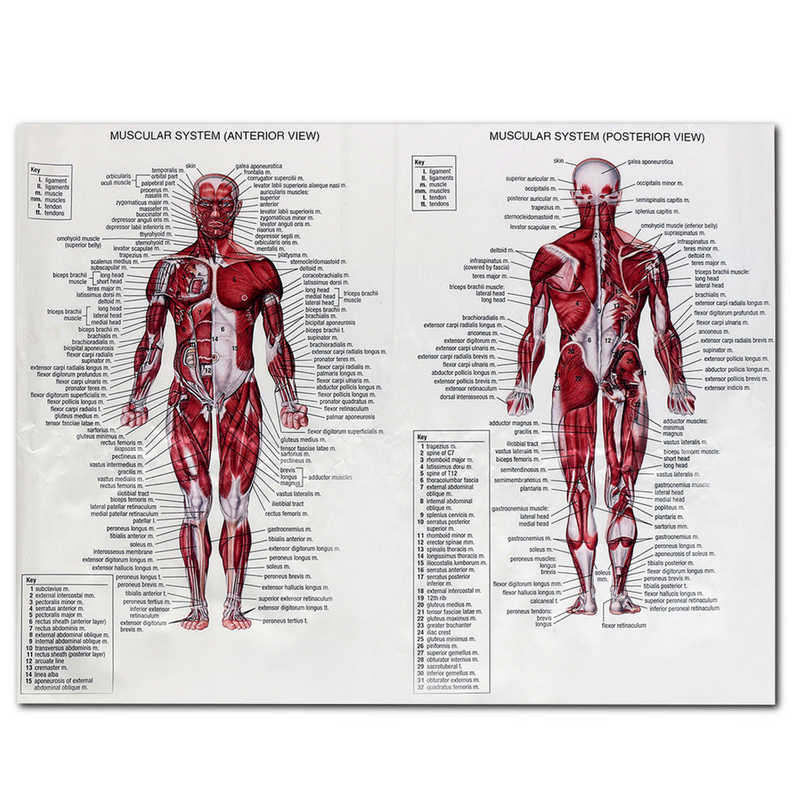 Detail Feedback Questions About 1pc Muscle System Posters Anatomy Chart Human Body Educational Home Decor Silk Cloth Wall Pictures 60 X 80cm On