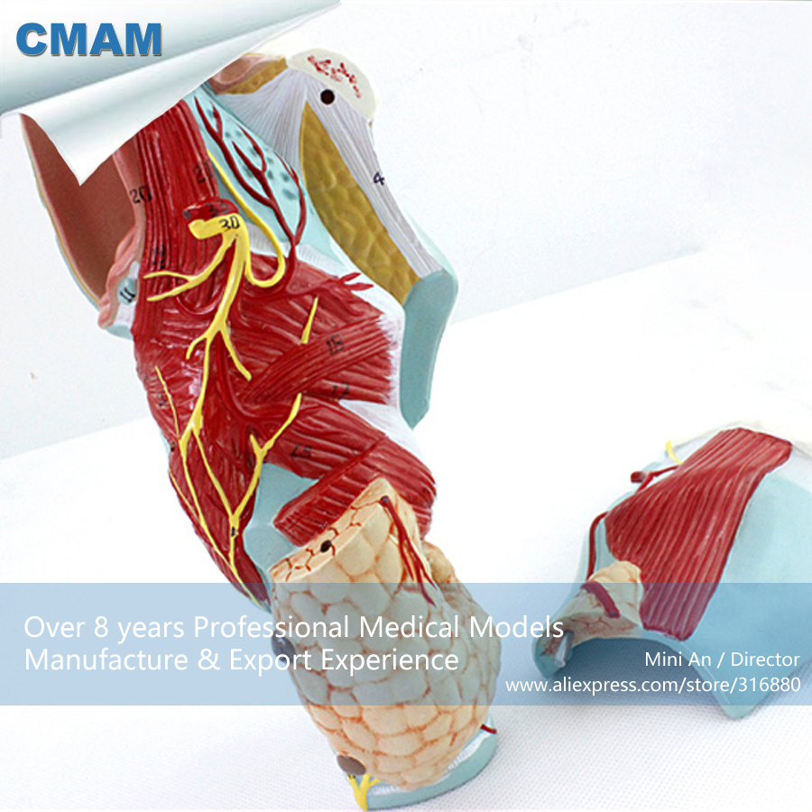 CMAM-THROAT01 Magnified Human Larynx Anatomy Medical Model 5Parts ,  Medical Science Educational Teaching Anatomical Models cmam viscera01 human anatomy stomach associated of the upper abdomen model in 6 parts