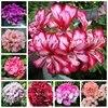 Hot ! 100 Pcs Mul-Color Geranium Flower Bonsai Rare Perennial Pelargonium Peltatum Potted Indoor Rooms Planting