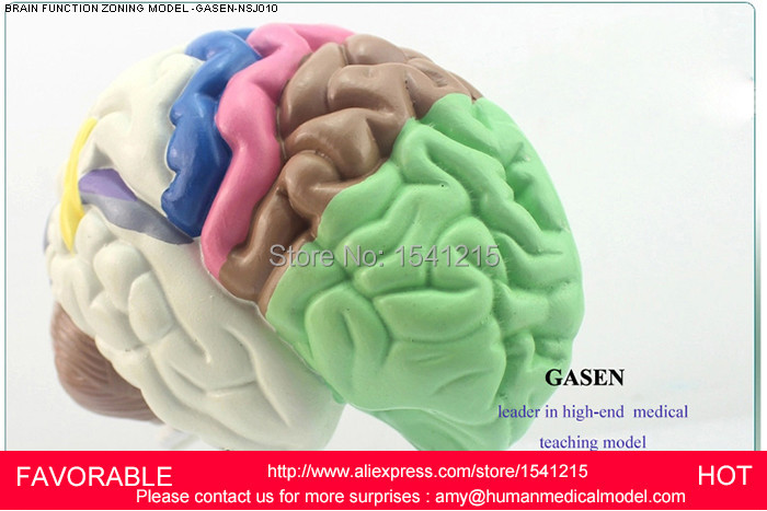 THE BRAIN FUNCTIONAL ZONING MODEL GASEN NSJ010 HUMAN BRAIN PARTITION TELENCEPHALON HEMISPHERE BRAIN