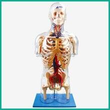 Transparente Tronco com Principais Estruturas Neurais e Vascular modelo, modelo de torso humano 53 pontos marcados