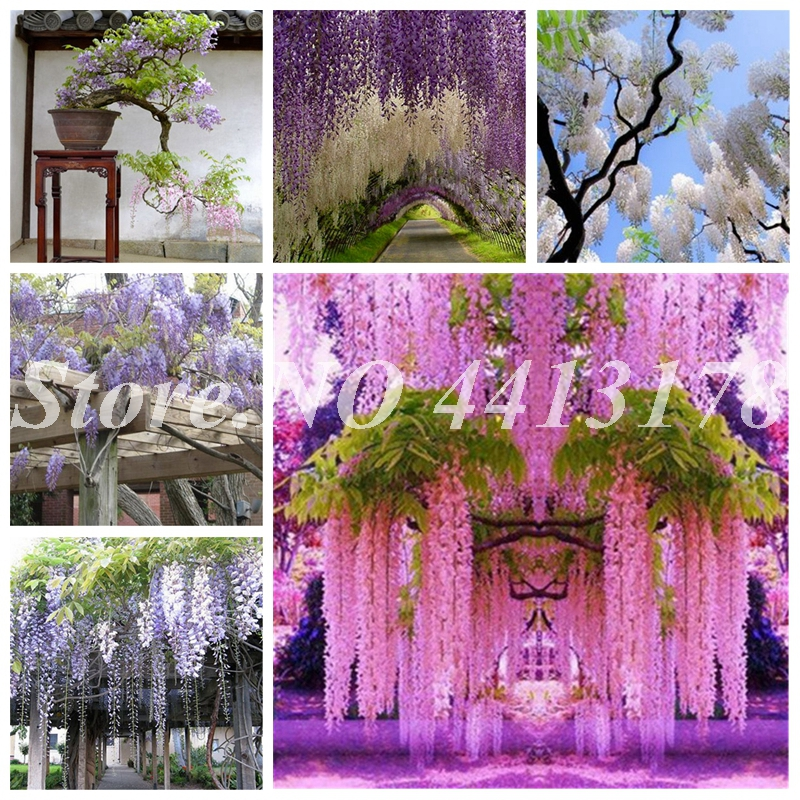 Garden Pots & Planters Bag Chinese Wisteria Flower Purple Yellow White Pink Wisteria Pots Plant Climb Rattan Flowers Bonsai For Home & Garden Lovely 10 Pcs
