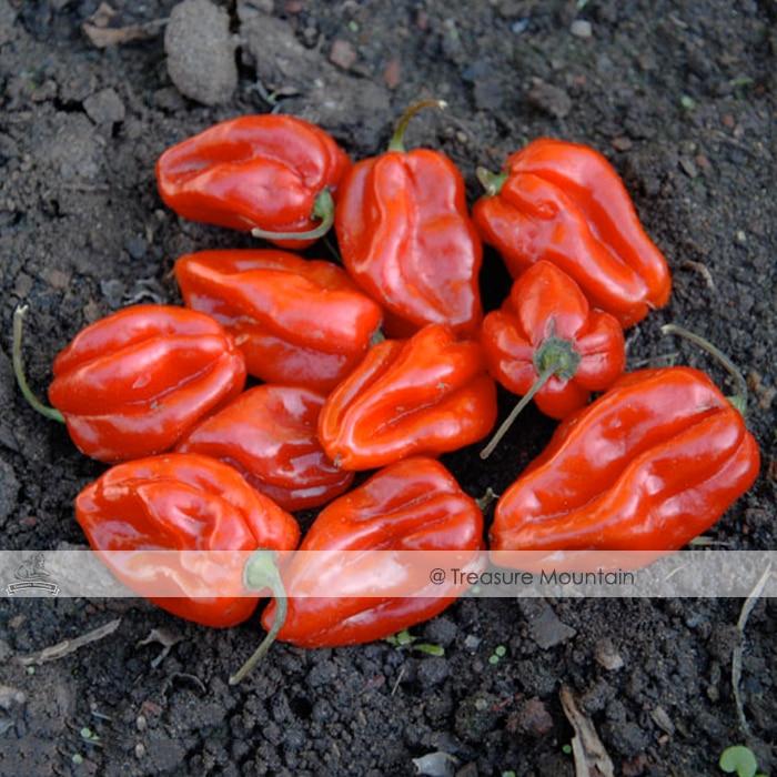 100 Seeds / Variety, Hot Habanero Pepper seeds, Red Orange Carnatio Yellow Chocolate White Capsicum Chinense Seeds #NF350