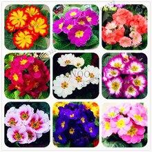 100pcs/bag Primula malacoides seeds,Primrose Rare bonsai flower seeds for home garden outdoor plants
