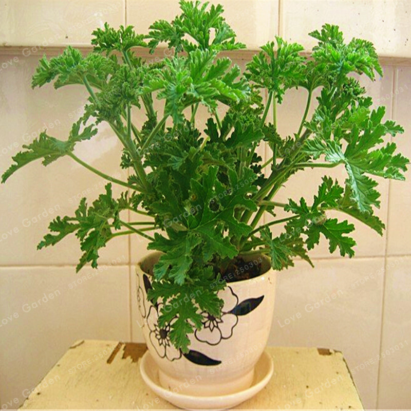 100 Pcs/Bag Mosquito Repellent Seeds Buster Vanilla Seeds Health Flower Seeds Exotic Plant Pot Bonsai Herb Seeds Home Garden