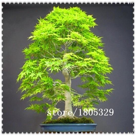 Ggg Bonsai Seeds 50pcs Dawn Redwood Bonsai Tree Grove Metasequoia Glyptostroboidesdiy Home Gardening Very Easy To Grow In Bonsai From Home Garden On