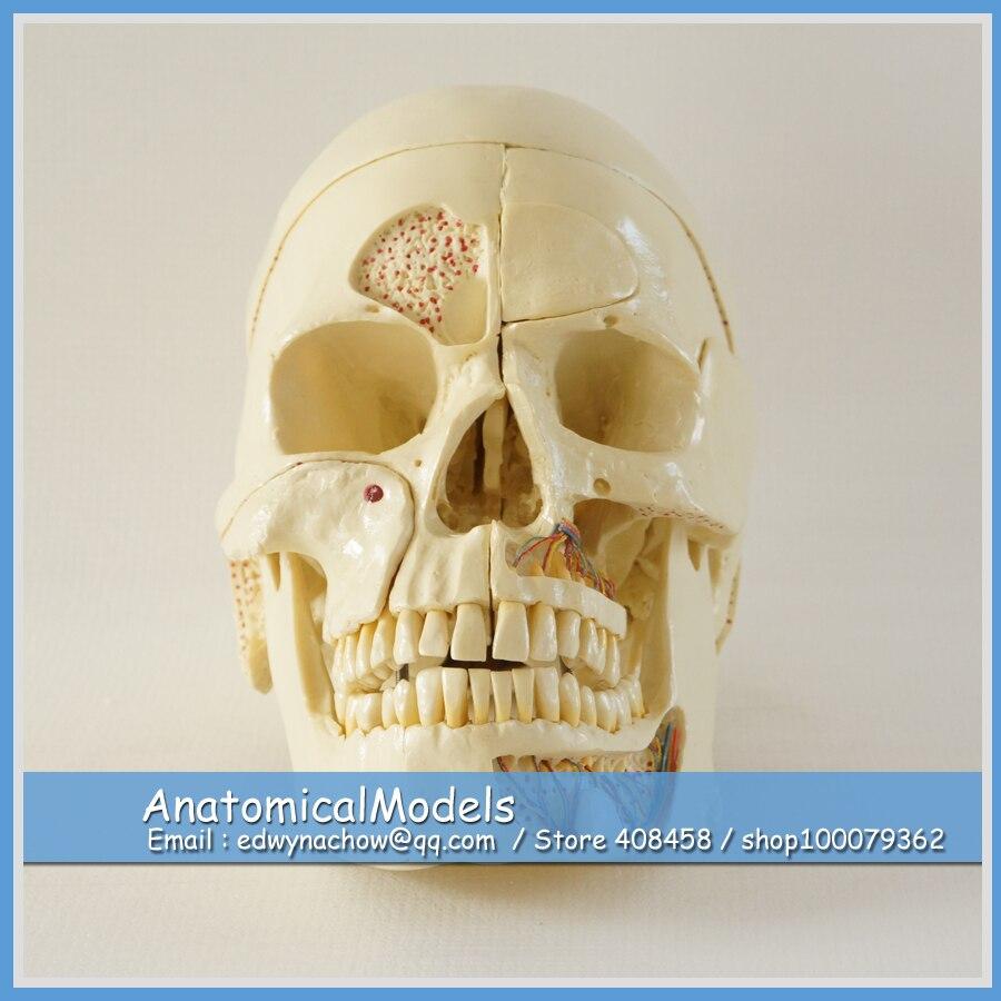 13217 DH1902 Human Skull Models with 10 parts Movable, Medical Science Educational Dental Teaching Models cmam nasal01 section anatomy human nasal cavity model in 3 parts medical science educational teaching anatomical models