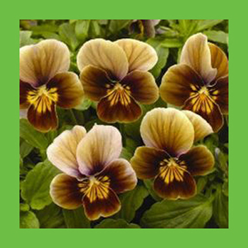 Unique Japanese Pansy Flowers Seeds DIY Home Garden Outdoor Perennial Bonsai Pot Brown Color Plants Seeds 120PCS