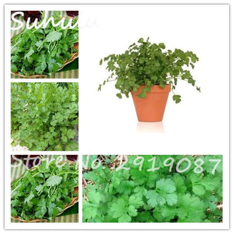 barato unids cilantro cilantro orgnico rico aroma buen gusto cocinar deliciosos hierba semillas de hortalizas diy jardn sa