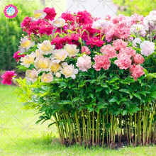 10 Pcs Mixed Colour Double Blooms Peony Bonsai Plant Heirloom Peony  Bonsai Flower Plant Perennial Garden Flower Planting