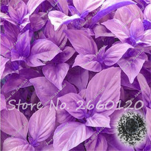 50 Purple Leaf Basil Seeds Ocimum Basilicum Spices Aromatic Herb Bonsai Garden Plants Flower, Free Shipping  Home