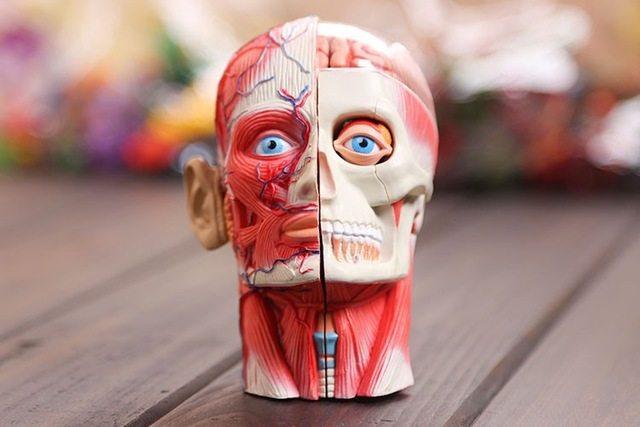 Tienda Online 4D tejido del cuerpo humano modelo de músculos y ...