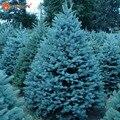 Semillas de Bonsai Blue Spruce Picea Pungens Semillas de Árboles de Hoja Perenne 100 partículas/bolsa