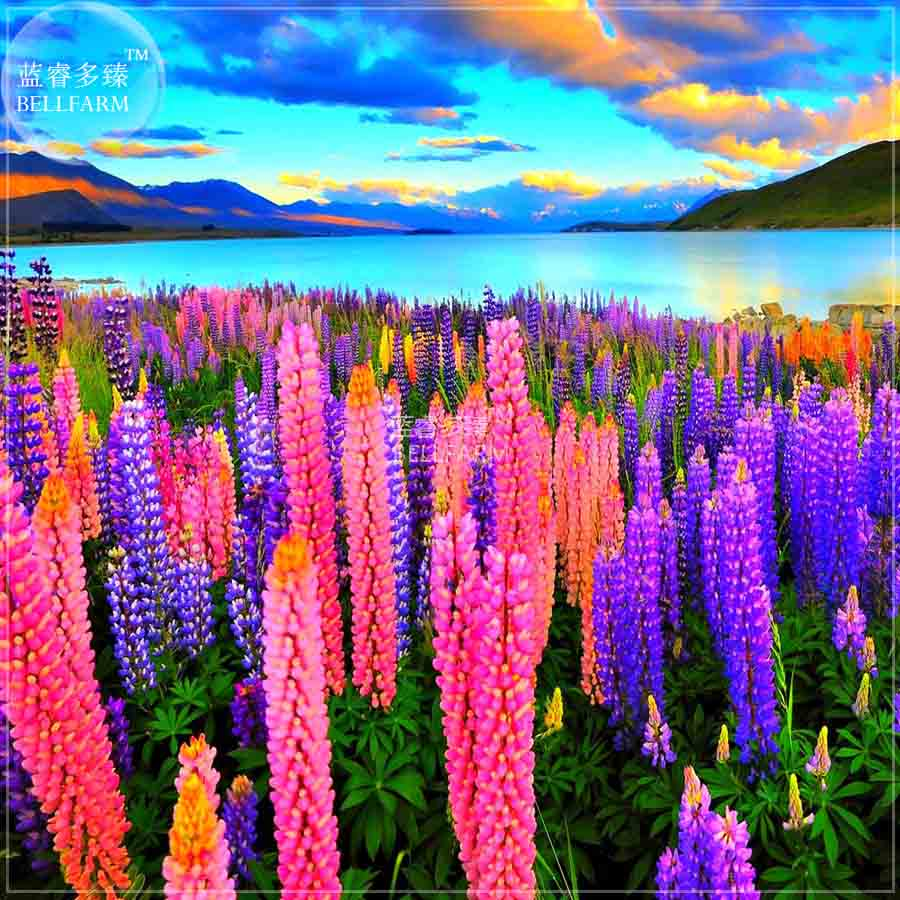 How To Plant Lupine Seeds - Bellfarm lupine heirloom perennial flowers seeds 15 seeds professional pack lupinus home garden