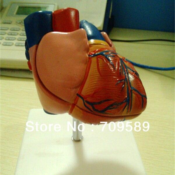 ISO Life-Size Anatomy Heart Model , Educational Heart model heart anatomy viscera medical model model of cardiac cardiac anatomy human heart heart medium demo model 6 gasen rzjp006