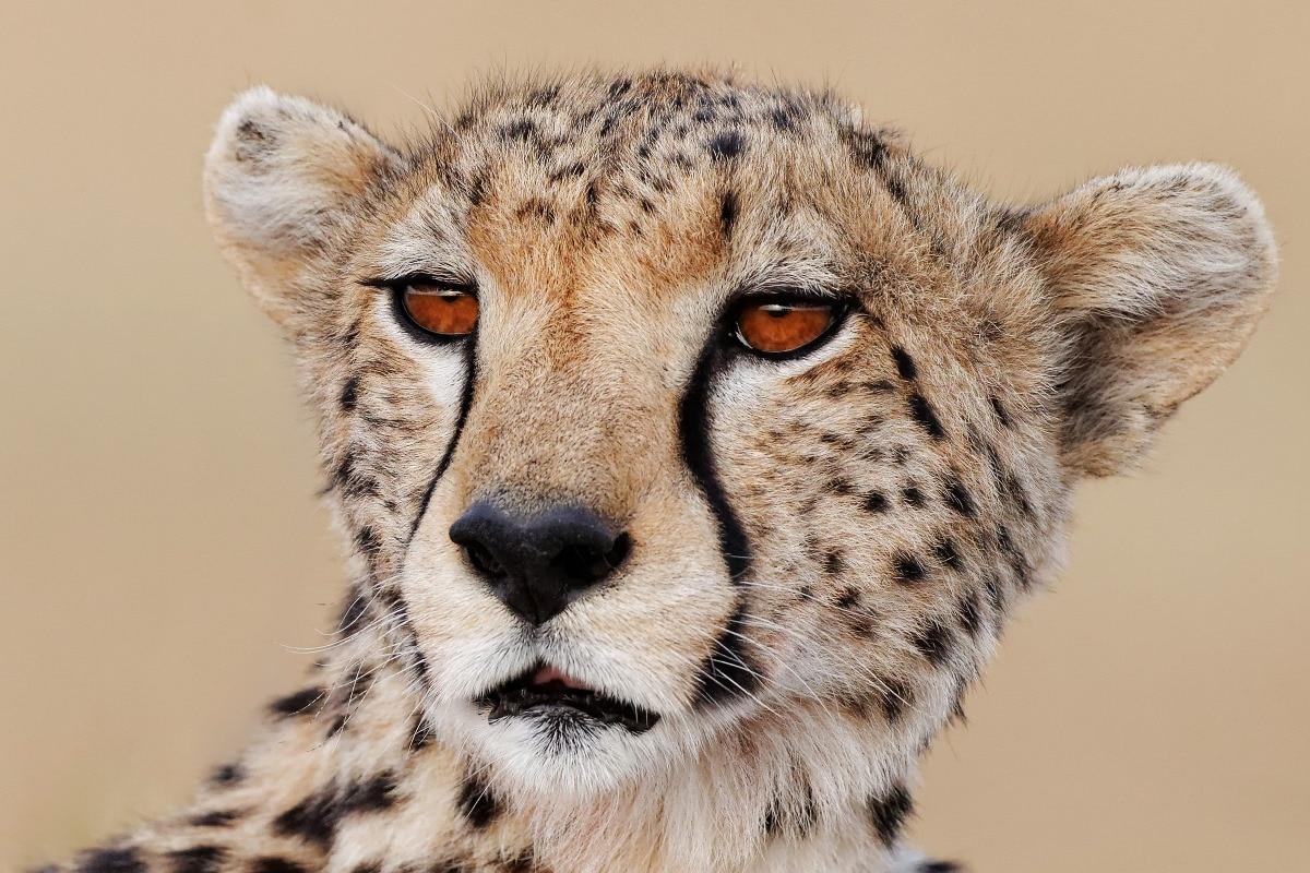 Animal Predator Leopard Portrait Cat Look Face Cheetah Gb23 Room Home Wall Modern Art Decor Wood