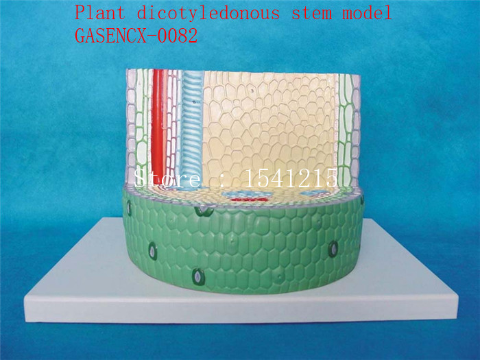 Plant anatomical model Biological teaching model Plant specimens Plant dicotyledonous stem model - GASENCX-0082 plant tissue plant anatomical model biological teaching model plant specimens plant dicotyledonous stem model gasencx 0085