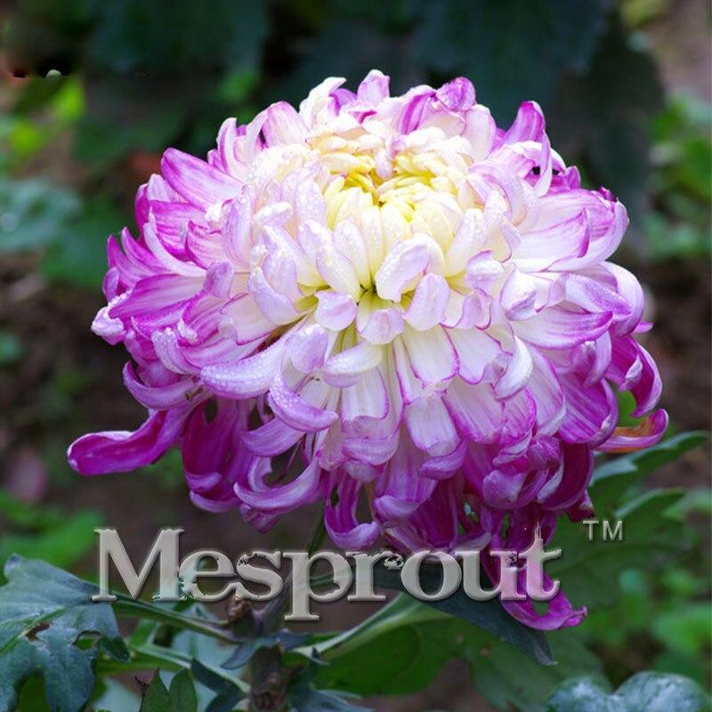 На Сал! 100 шт. светло-фиолетовый хризантемы семена Хризантемы Morifolium семена цветок в горшке завод сад семена цветов мне #0010
