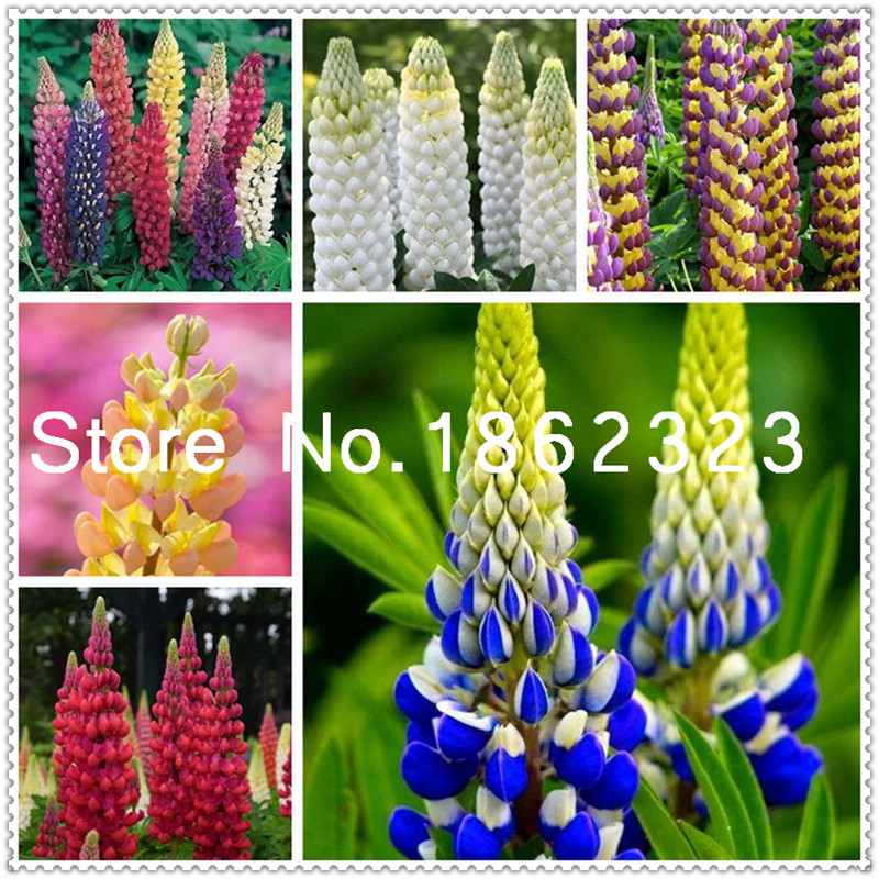 Bonsai 200 Pcs/ Bag Colorful Rainbow Lupine Plants Russell Lupinus Beauty Flower Potted Ornamental Flowers For Diy Home Garden