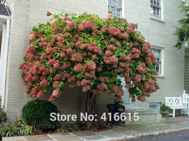 Aliexpress.com : Buy Hydrangea Seeds Hydrangea paniculata Vanilla ...